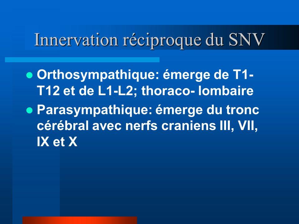 Innervation réciproque du SNV Orthosympathique: émerge de T1- T12 et de L1-L2; thoraco- lombaire Parasympathique: émerge du tronc cérébral avec nerfs