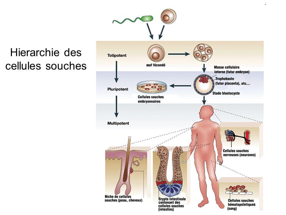 Hierarchie des cellules souches