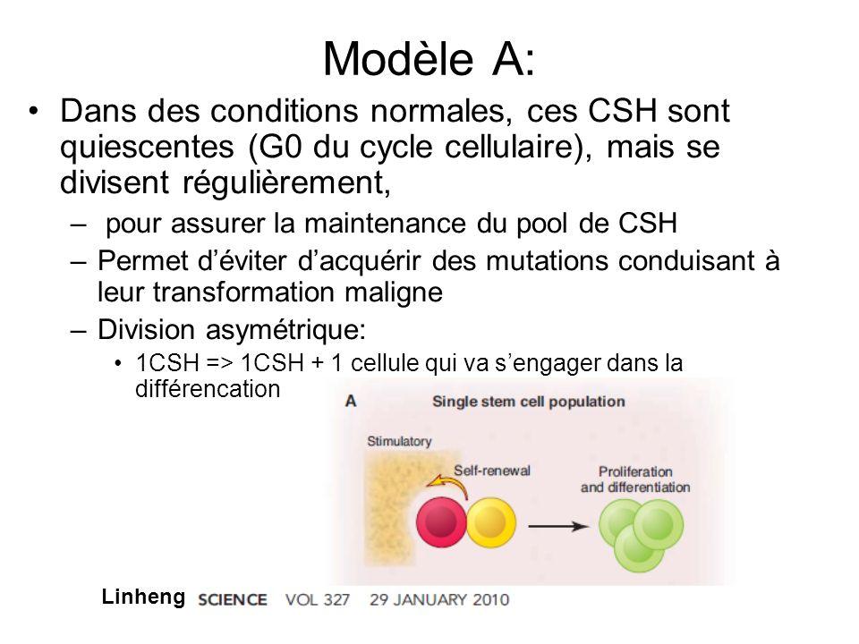 Modèle A: Dans des conditions normales, ces CSH sont quiescentes (G0 du cycle cellulaire), mais se divisent régulièrement, – pour assurer la maintenan