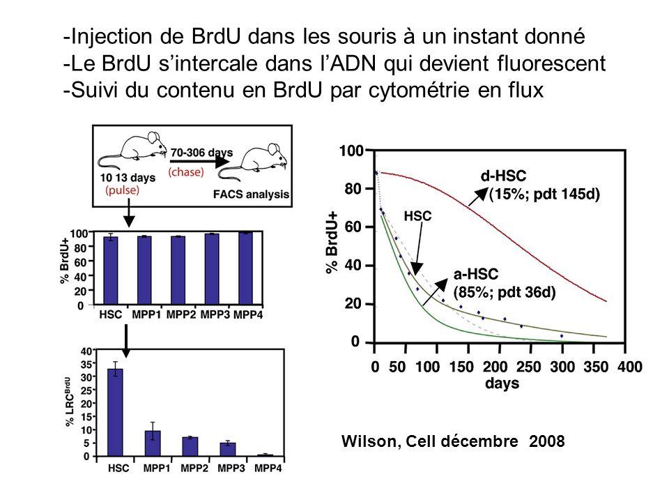 Wilson, Cell décembre 2008 -Injection de BrdU dans les souris à un instant donné -Le BrdU sintercale dans lADN qui devient fluorescent -Suivi du conte