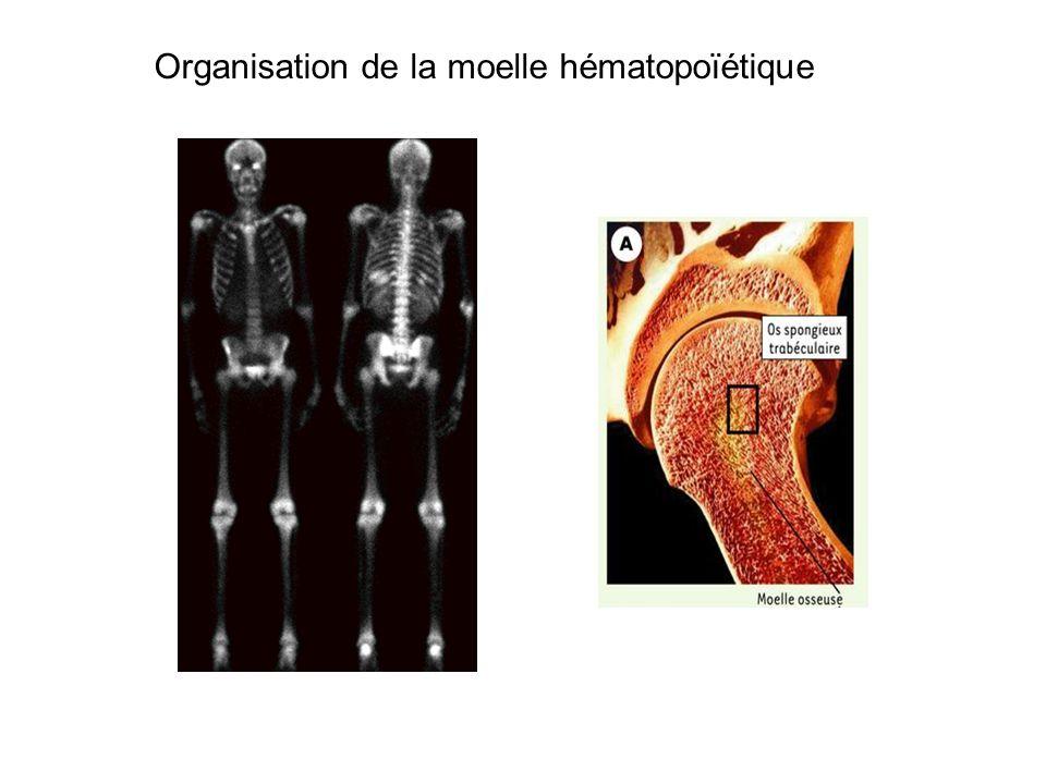 Organisation de la moelle hématopoïétique