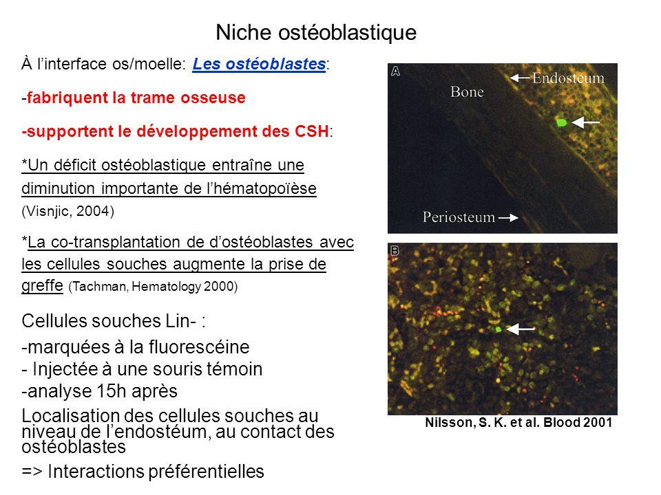 À linterface os/moelle: Les ostéoblastes: -fabriquent la trame osseuse -supportent le développement des CSH: *Un déficit ostéoblastique entraîne une d