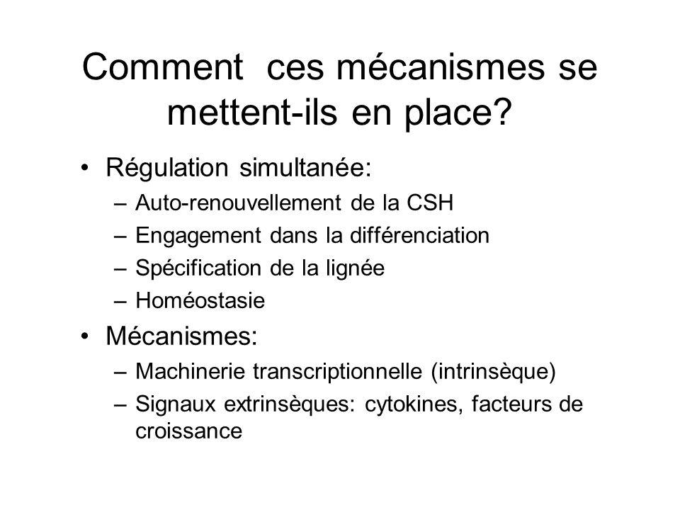 Comment ces mécanismes se mettent-ils en place? Régulation simultanée: –Auto-renouvellement de la CSH –Engagement dans la différenciation –Spécificati
