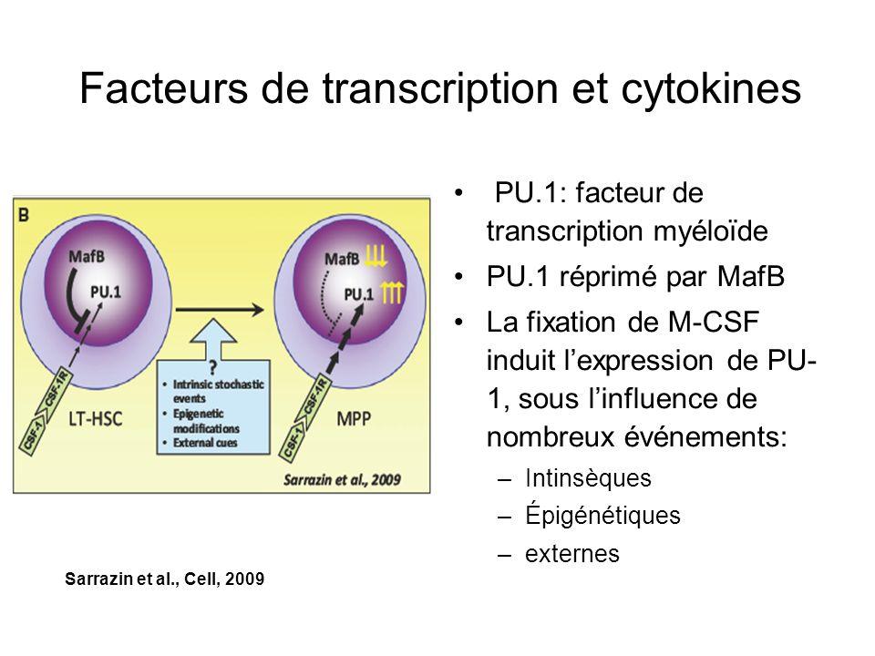 Facteurs de transcription et cytokines PU.1: facteur de transcription myéloïde PU.1 réprimé par MafB La fixation de M-CSF induit lexpression de PU- 1,