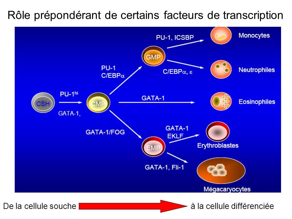 Rôle prépondérant de certains facteurs de transcription De la cellule soucheà la cellule différenciée
