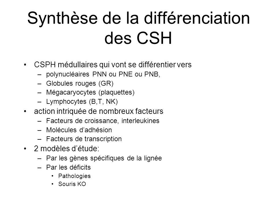 Synthèse de la différenciation des CSH CSPH médullaires qui vont se différentier vers –polynucléaires PNN ou PNE ou PNB, –Globules rouges (GR) –Mégaca