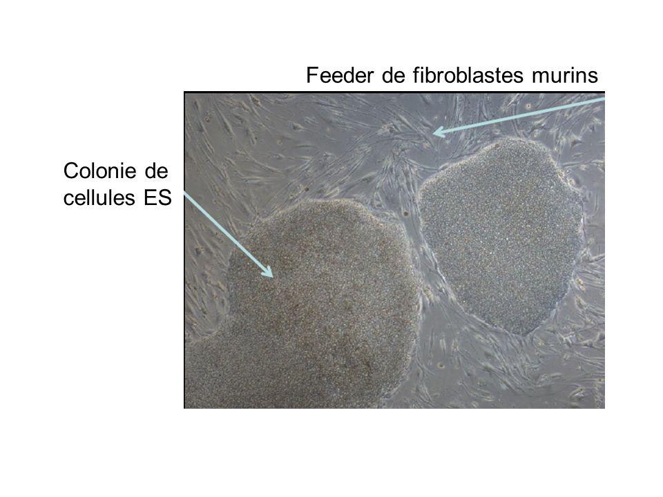 Feeder de fibroblastes murins Colonie de cellules ES