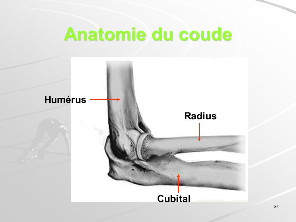 57 Anatomie du coude Humérus Cubital Radius