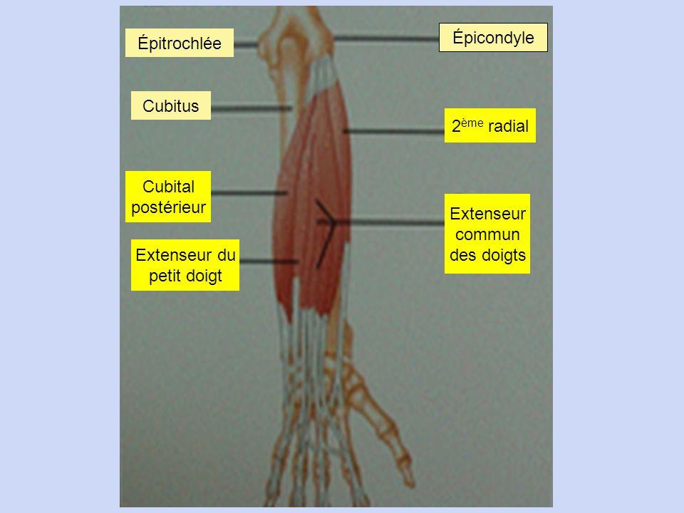 59 Extenseur du petit doigt Cubital postérieur Cubitus Épitrochlée Épicondyle 2 ème radial Extenseur commun des doigts