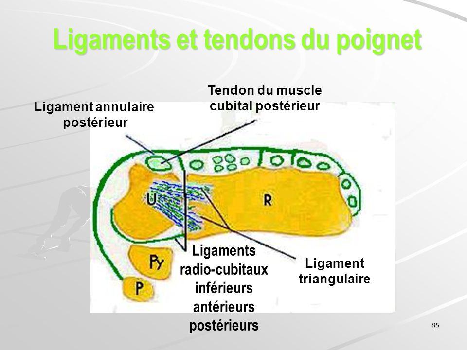 85 Ligaments et tendons du poignet Ligament annulaire postérieur Tendon du muscle cubital postérieur Ligaments radio-cubitaux inférieurs antérieurs po