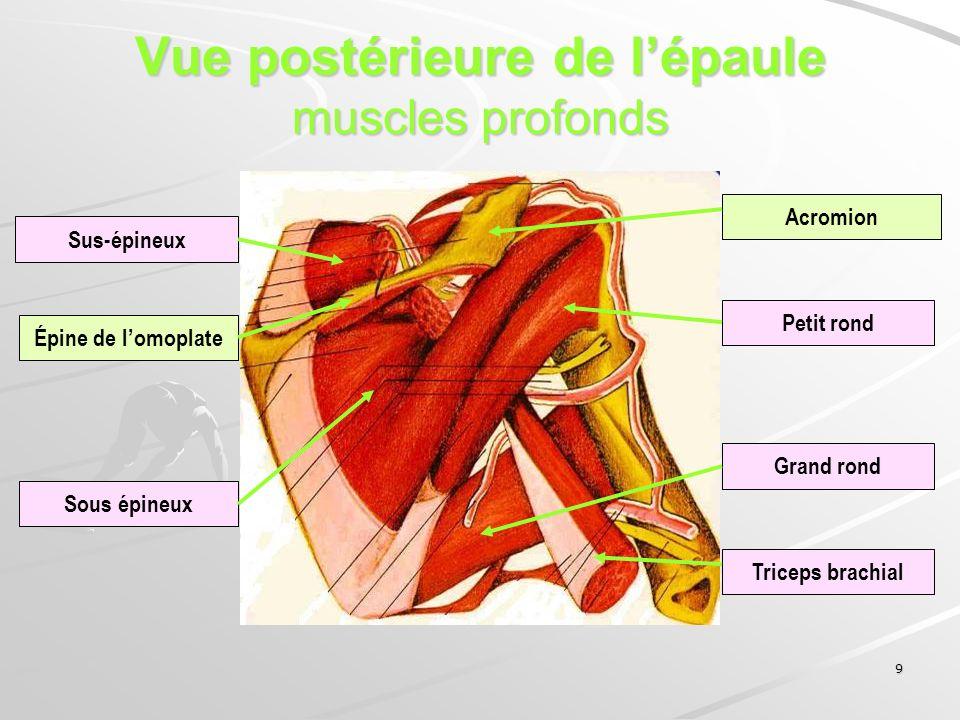 9 Vue postérieure de lépaule muscles profonds Épine de lomoplate Acromion Sus-épineux Sous épineux Petit rond Grand rond Triceps brachial
