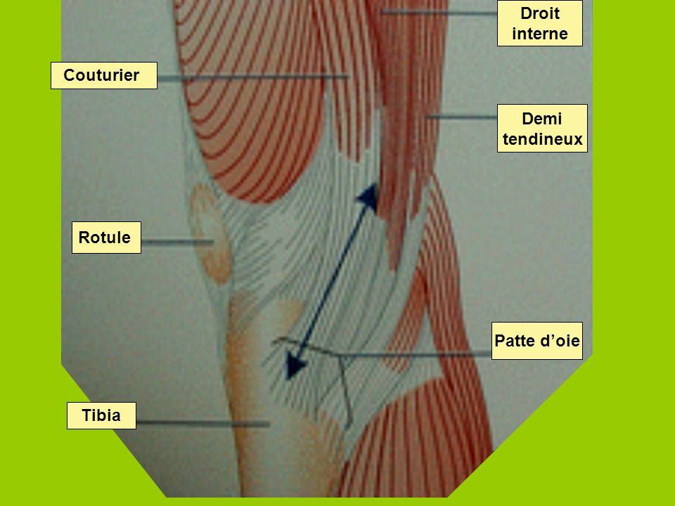 32 Patte doie Demi tendineux Droit interne Tibia Rotule Couturier
