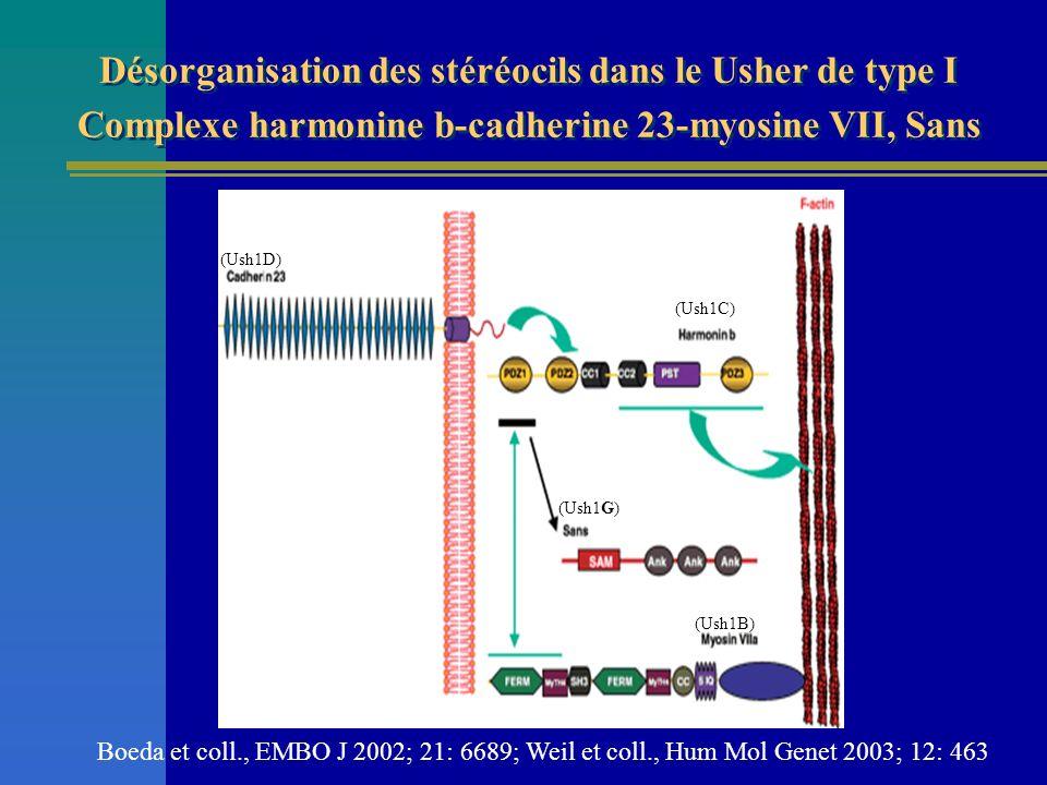 Désorganisation des stéréocils dans le Usher de type I Complexe harmonine b-cadherine 23-myosine VII, Sans Boeda et coll., EMBO J 2002; 21: 6689; Weil