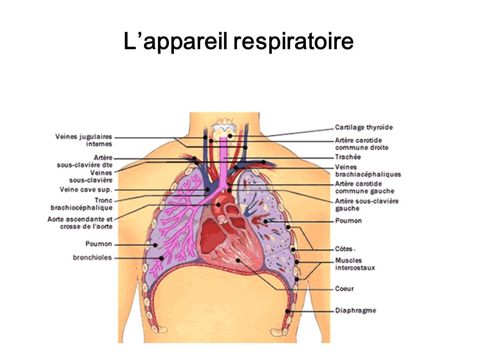 Lappareil respiratoire