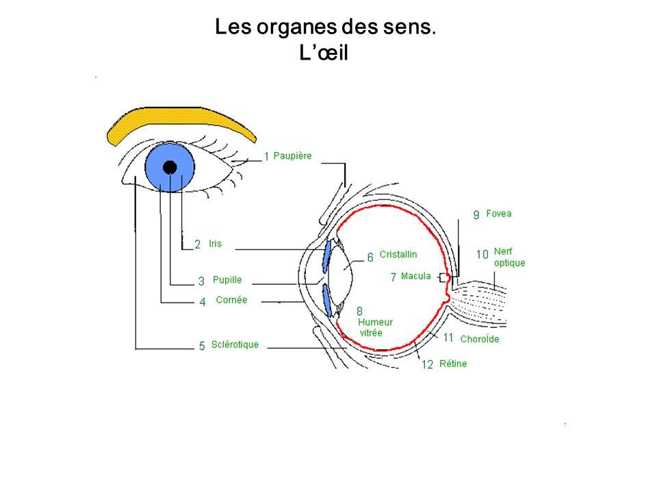 Les organes des sens. Lœil