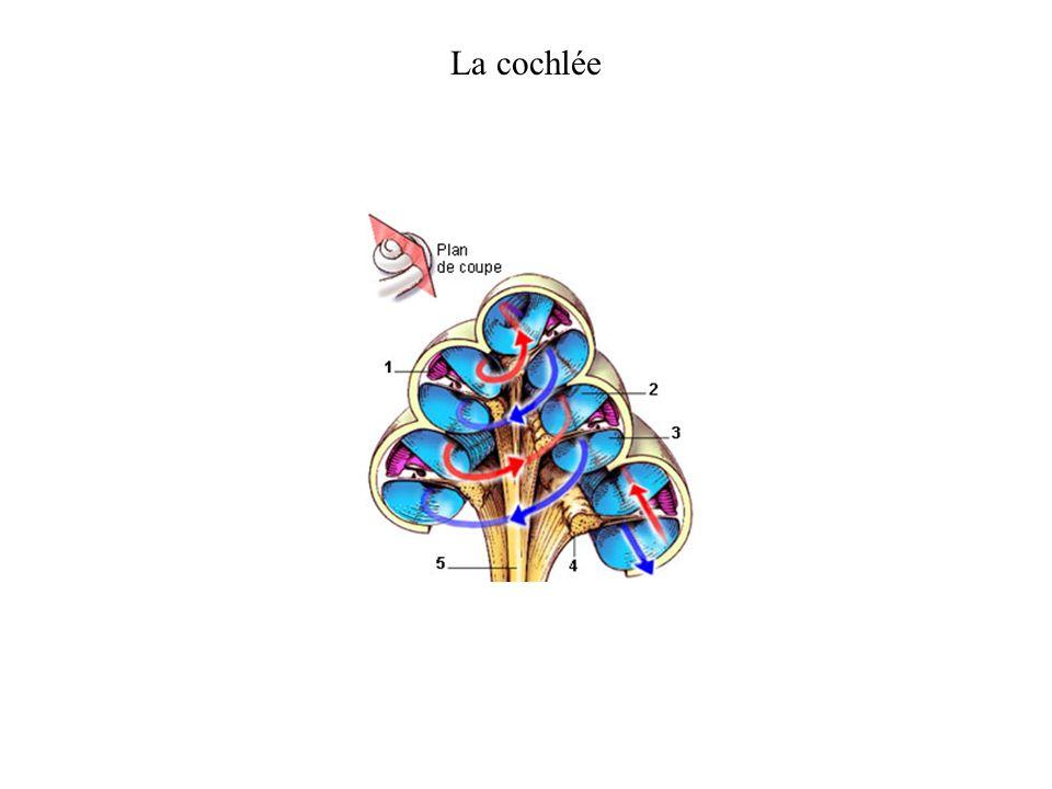 La cochlée