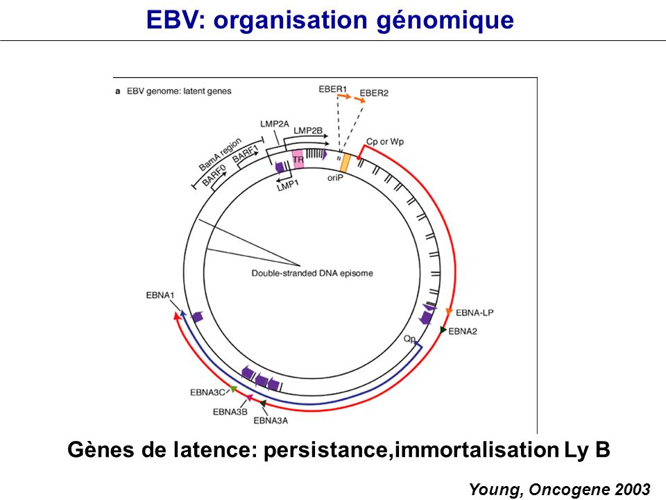 Gènes de latence: persistance,immortalisation Ly B Young, Oncogene 2003 EBV: organisation génomique