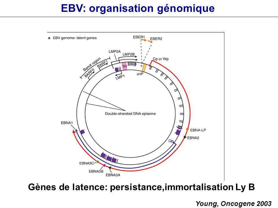 Gènes de latence: persistance,immortalisation Ly B Young, Oncogene 2003 EBV: organisation génomique