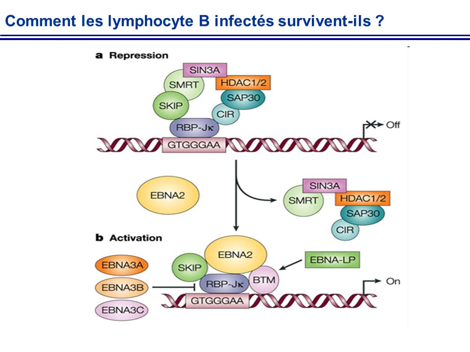 Comment les lymphocyte B infectés survivent-ils ?