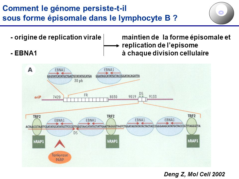 Comment le génome persiste-t-il sous forme épisomale dans le lymphocyte B ? - origine de replication virale - EBNA1 maintien de la forme épisomale et