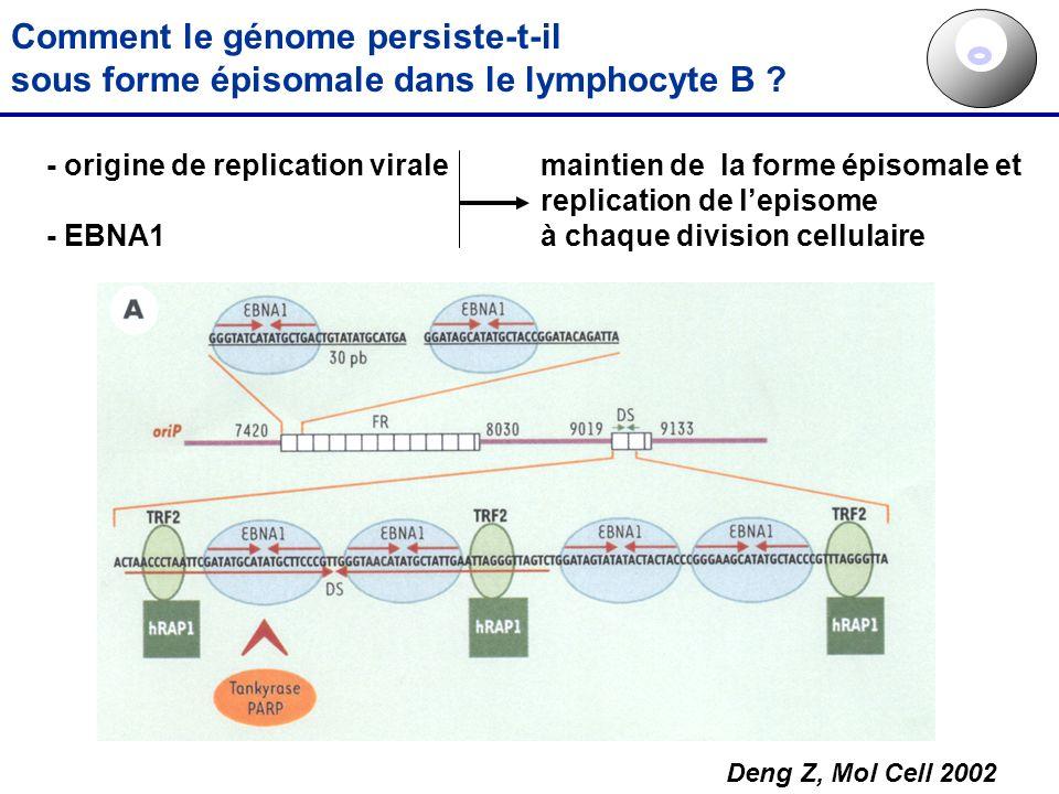 Comment le génome persiste-t-il sous forme épisomale dans le lymphocyte B ? - origine de replication virale - EBNA1 maintien de la forme épisomale et