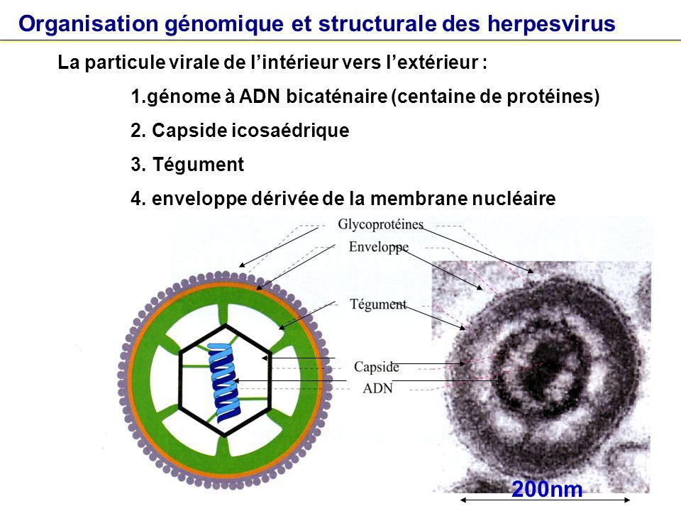 contamination incubation Primo-infection asymptomatique ou symptomatique (infection aiguë) avec séroconversion Persistance toute la vie : Latence - Réactivation Histoire naturelle des infections à herpes virus HSV1, HSV2, VZV, EBV, CMV, HHV6, HHV7, HHV8 Réactivation replication virale Latence : Pas de réplication virale Réplication virale