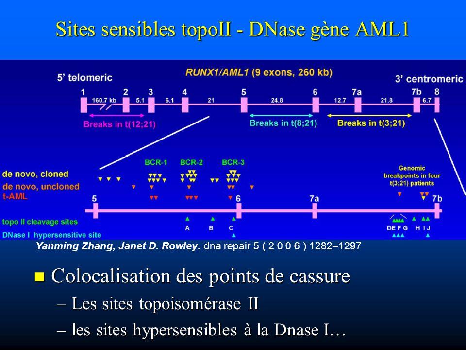 Yanming Zhang, Janet D. Rowley. dna repair 5 ( 2 0 0 6 ) 1282–1297 Sites sensibles topoII - DNase gène AML1 Colocalisation des points de cassure Coloc