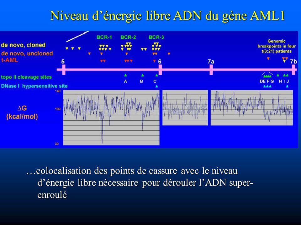 …colocalisation des points de cassure avec le niveau dénergie libre nécessaire pour dérouler lADN super- enroulé Niveau dénergie libre ADN du gène AML