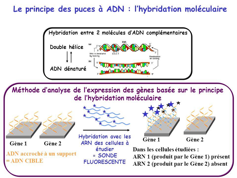 ADN accroché à un support = ADN CIBLE Gène 1Gène 2 * * * * * Gène 1 Hybridation avec les ARN des cellules à étudier = SONDE FLUORESCENTE Dans les cell