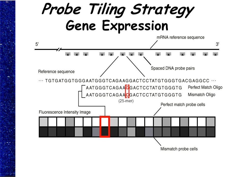 Probe Tiling Strategy Gene Expression (25-mer)