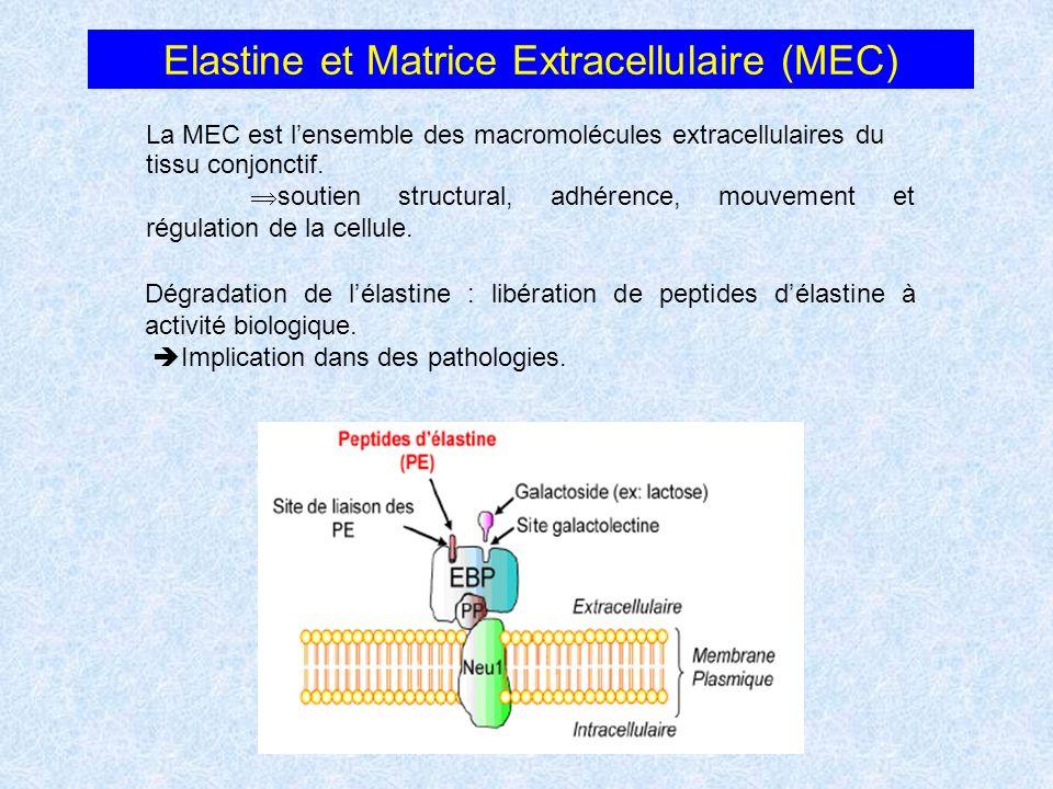 Elastine et Matrice Extracellulaire (MEC) Dégradation de lélastine : libération de peptides délastine à activité biologique. Implication dans des path