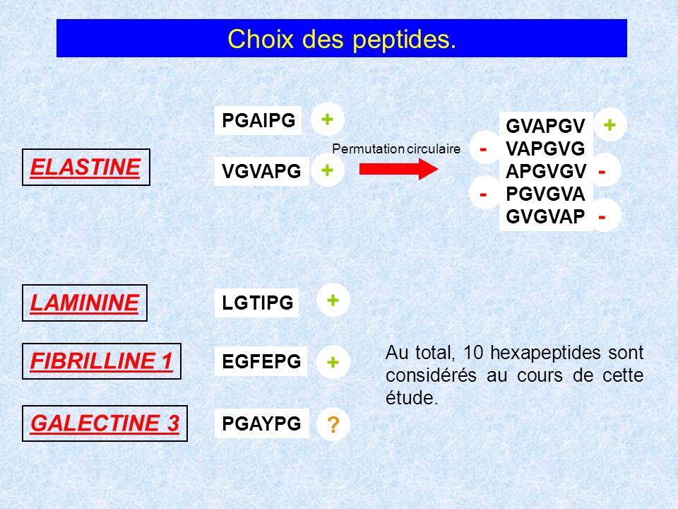 Choix des peptides. VGVAPG GVAPGV VAPGVG APGVGV PGVGVA GVGVAP Permutation circulaire ELASTINE PGAIPG LAMININE LGTIPG FIBRILLINE 1 GALECTINE 3 PGAYPG E