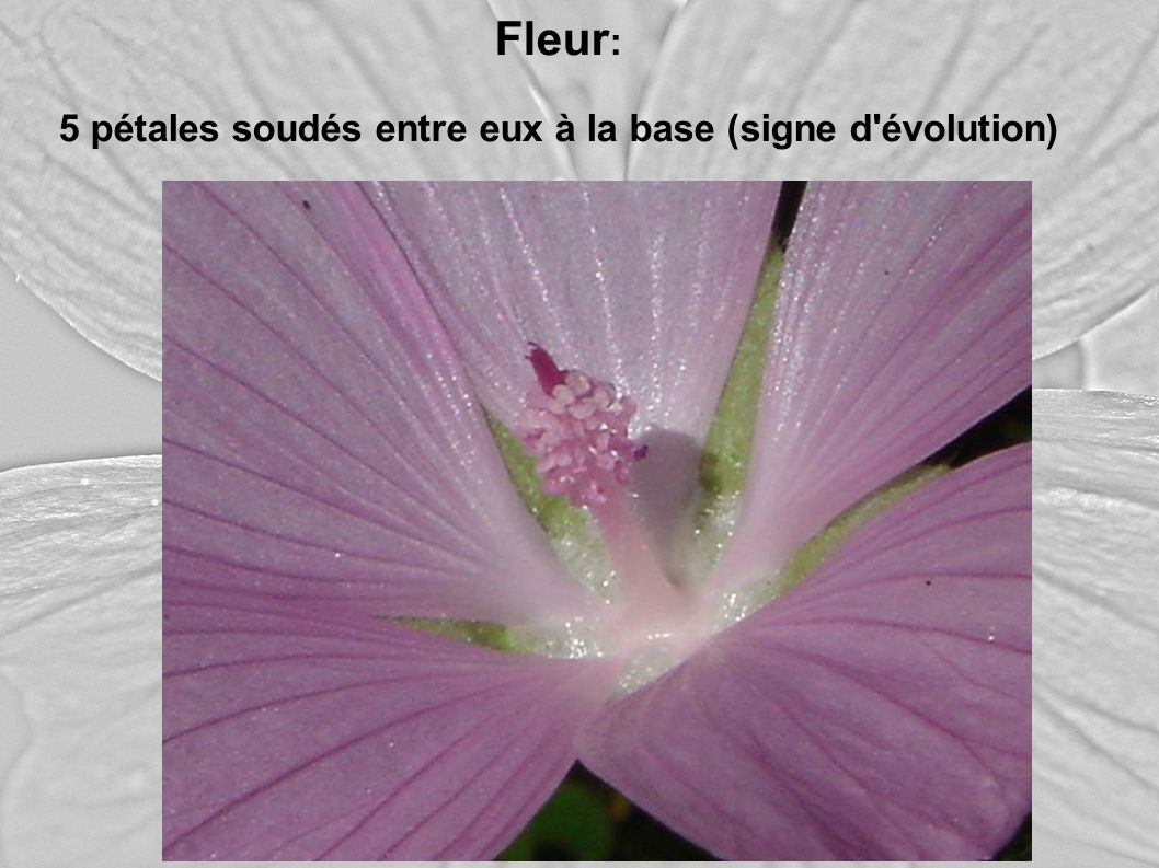 Fleur : 5 pétales soudés entre eux à la base (signe d'évolution)