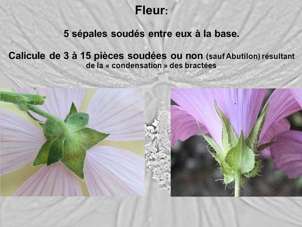 Fleur : 5 sépales soudés entre eux à la base. Calicule de 3 à 15 pièces soudées ou non (sauf Abutilon) résultant de la « condensation » des bractées