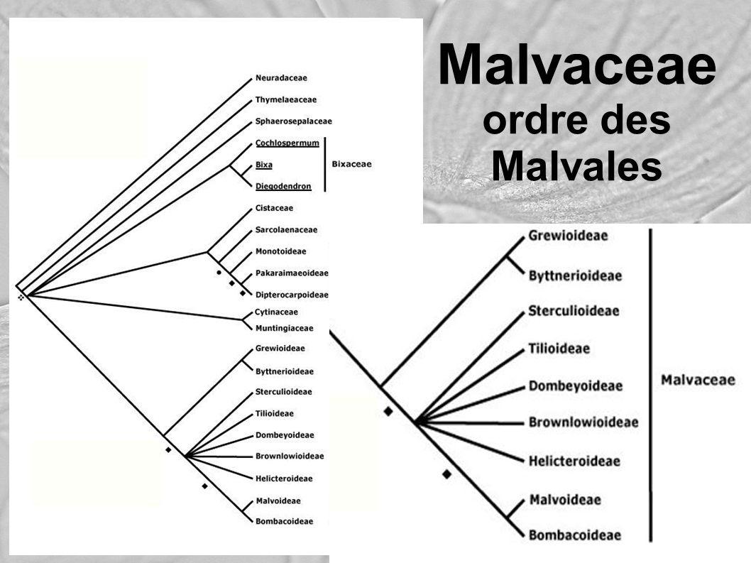 Malvaceae ordre des Malvales