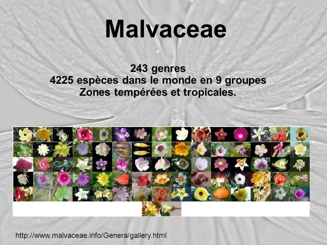 Malvaceae 243 genres 4225 espèces dans le monde en 9 groupes Zones tempérées et tropicales. http://www.malvaceae.info/Genera/gallery.html