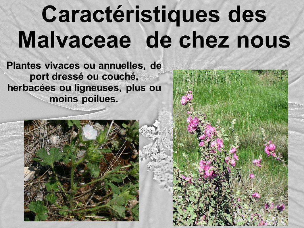 Caractéristiques des Malvaceae de chez nous Plantes vivaces ou annuelles, de port dressé ou couché, herbacées ou ligneuses, plus ou moins poilues.