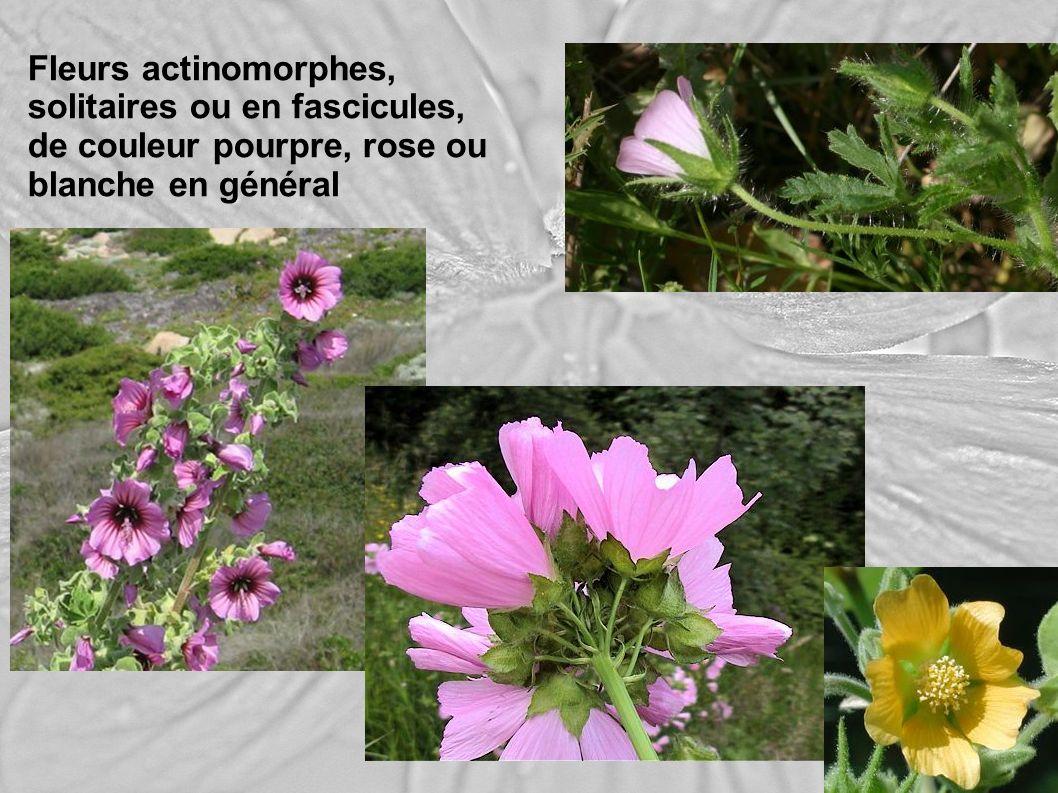 Fleurs actinomorphes, solitaires ou en fascicules, de couleur pourpre, rose ou blanche en général