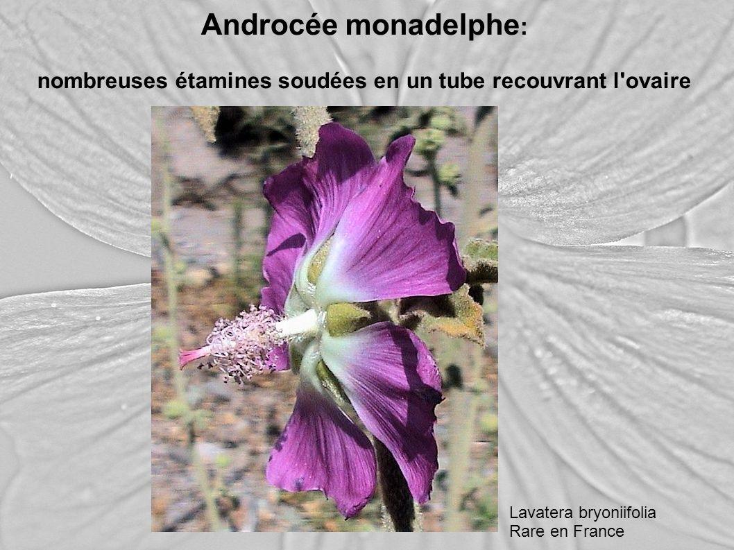 Androcée monadelphe : nombreuses étamines soudées en un tube recouvrant l'ovaire Lavatera bryoniifolia Rare en France