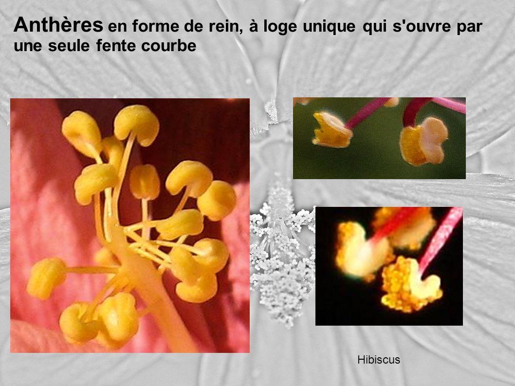 Anthères en forme de rein, à loge unique qui s'ouvre par une seule fente courbe Hibiscus