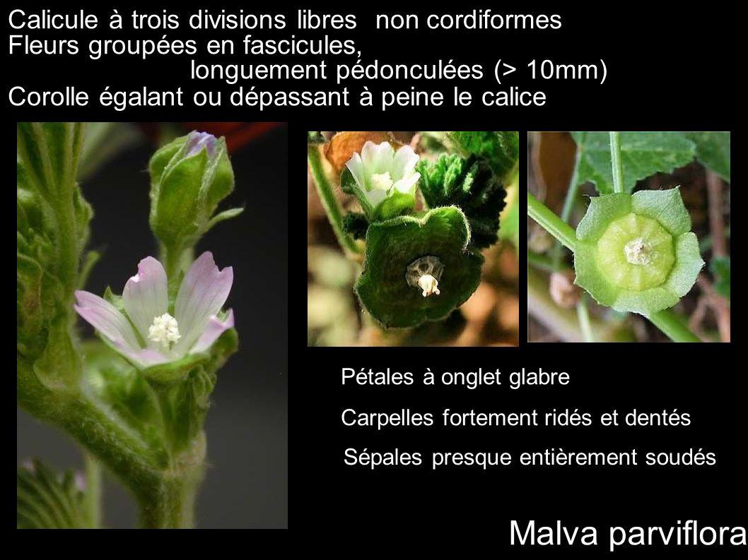 Malva parviflora Calicule à trois divisions libres non cordiformes Fleurs groupées en fascicules, longuement pédonculées (> 10mm) Corolle égalant ou d