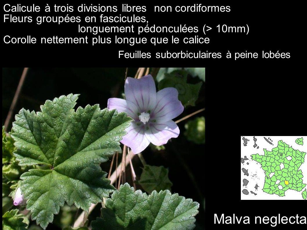 Malva neglecta Calicule à trois divisions libres non cordiformes Fleurs groupées en fascicules, longuement pédonculées (> 10mm) Corolle nettement plus