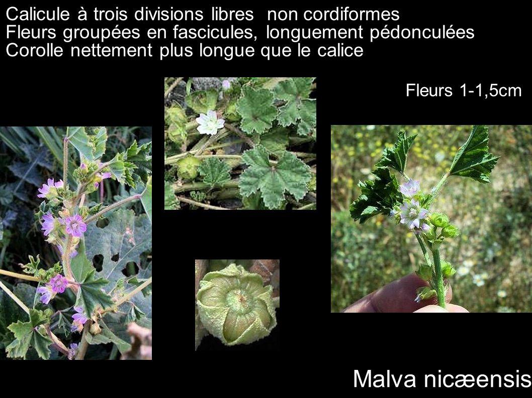 Malva nicæensis Calicule à trois divisions libres non cordiformes Fleurs groupées en fascicules, longuement pédonculées Corolle nettement plus longue