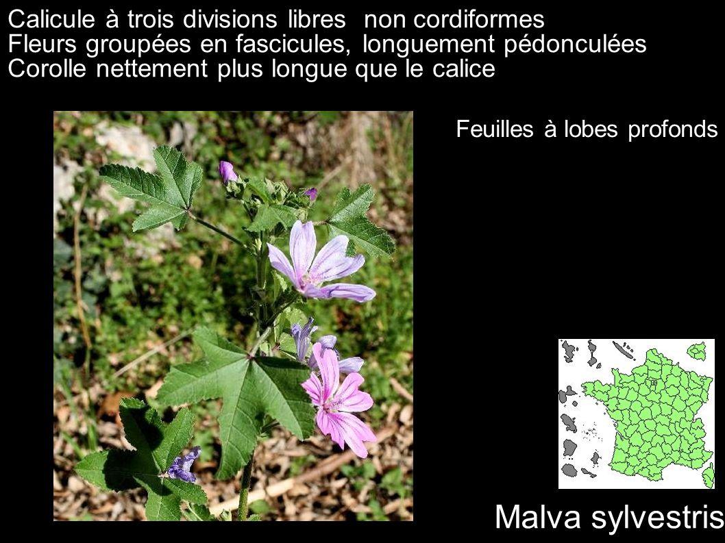 Malva sylvestris Calicule à trois divisions libres non cordiformes Fleurs groupées en fascicules, longuement pédonculées Corolle nettement plus longue