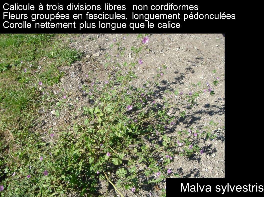 Calicule à trois divisions libres non cordiformes Fleurs groupées en fascicules, longuement pédonculées Corolle nettement plus longue que le calice Ma