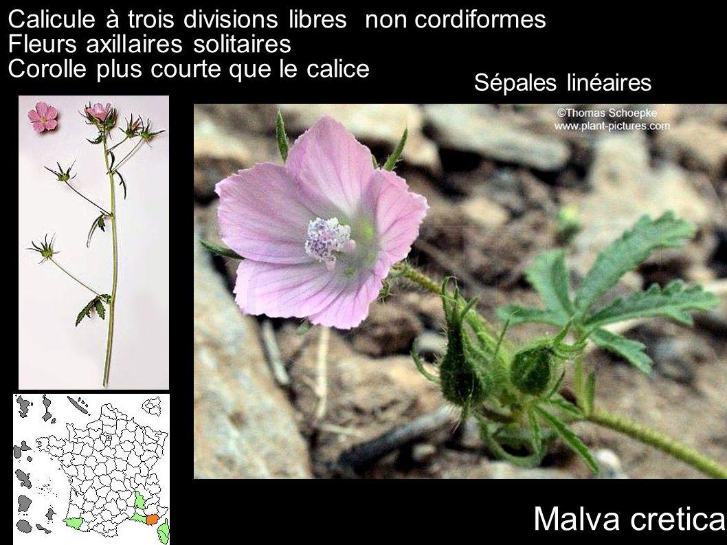 Calicule à trois divisions libres non cordiformes Fleurs axillaires solitaires Corolle plus courte que le calice Malva cretica Sépales linéaires