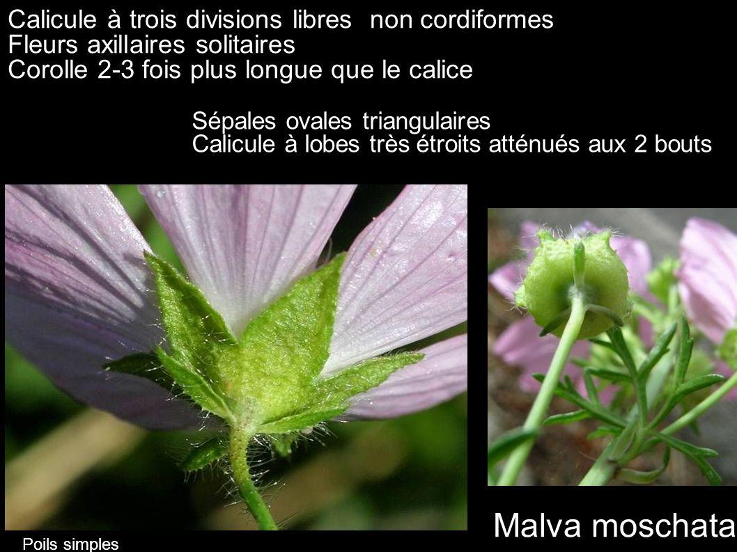 Calicule à trois divisions libres non cordiformes Fleurs axillaires solitaires Corolle 2-3 fois plus longue que le calice Malva moschata Sépales ovale