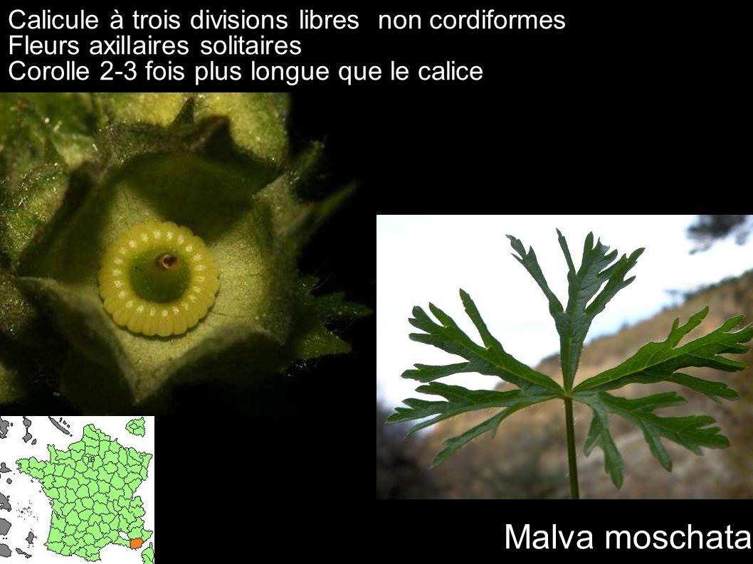 Calicule à trois divisions libres non cordiformes Fleurs axillaires solitaires Corolle 2-3 fois plus longue que le calice Malva moschata