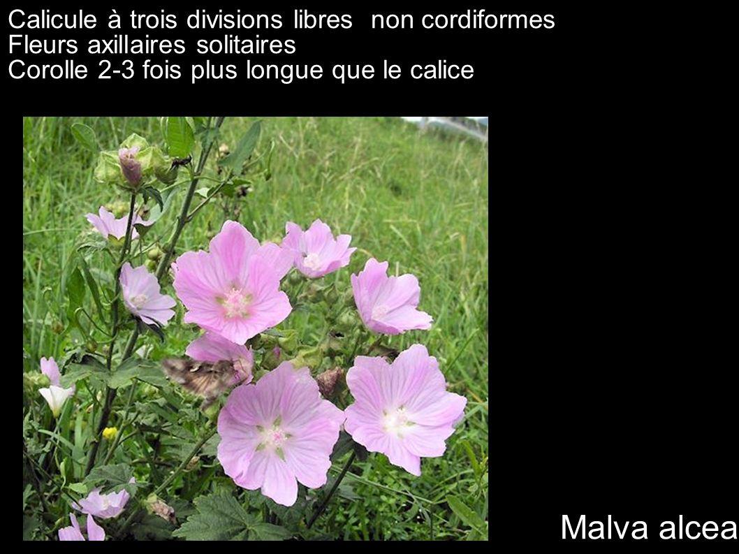 Calicule à trois divisions libres non cordiformes Fleurs axillaires solitaires Corolle 2-3 fois plus longue que le calice Malva alcea Poils étoilés