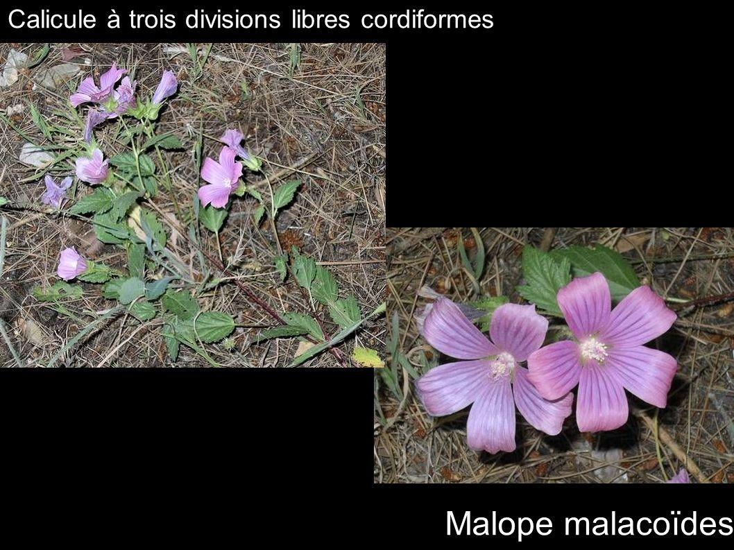 Malope malacoïdes Calicule à trois divisions libres cordiformes